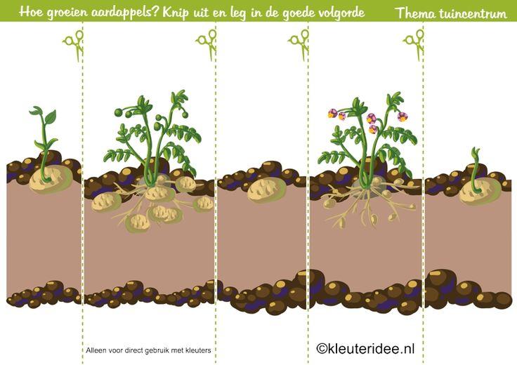 Logische volgorde aardappel, thema tuincentrum, kleuteridee , sequence , Preschool garden theme, free printable.