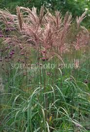 miscanthus malepartus - Google Search