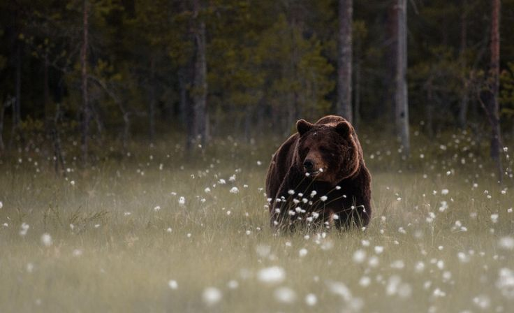 Forest Bear latest HD Wallpapers