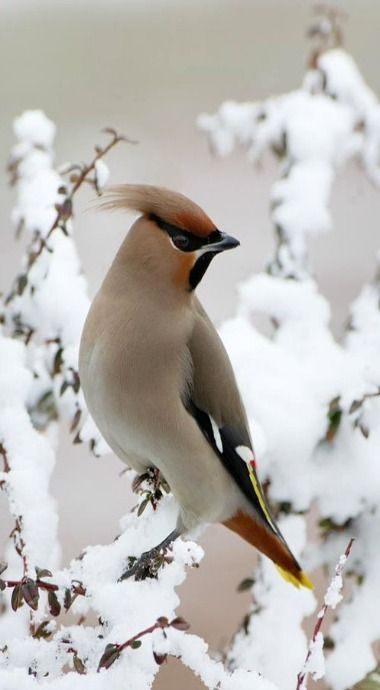 Winter - Waxwing bird