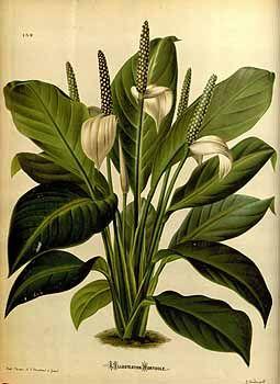 48292 Spathiphyllum floribundum (Linden & André) N.E. Br. [as Anthurium…