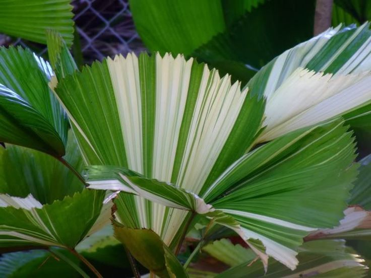 Ruffled Fan Palm Tree (Licuala grandis).Variegata leaf.