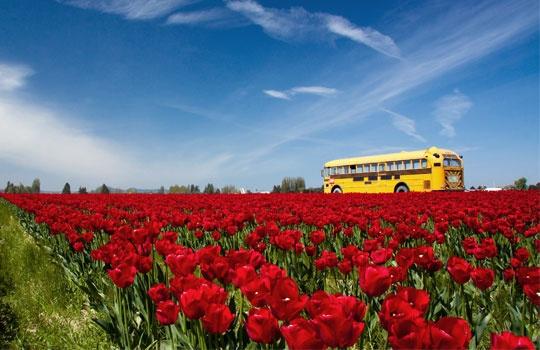 Tulip field & school bus, Skagit Valley, Wash. (© Erico Macedo/Getty Images)