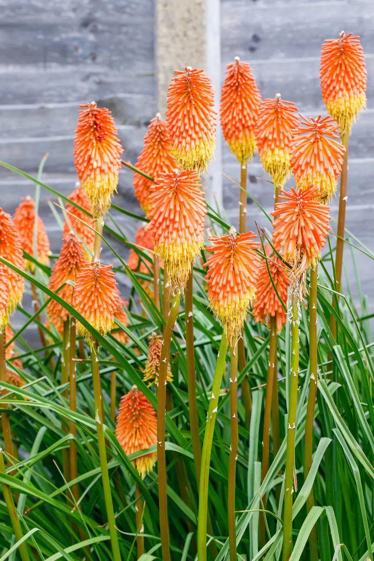 Planter des kniphofias en massif en 2020   Décoration ...