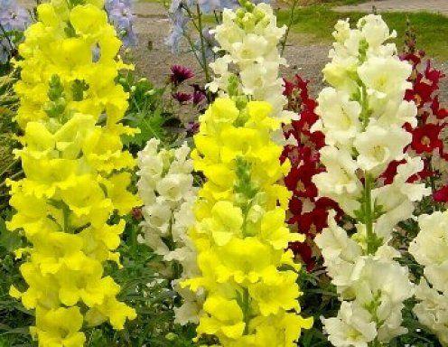 Boca de dragón, la planta de mil nombres La Antirrhinun majus es conocida comúnmente como boca de dragón, de león, cabeza de ternera, flor del sapo, gatos, muerte de español, pirigallo, gallitos, conejitos...