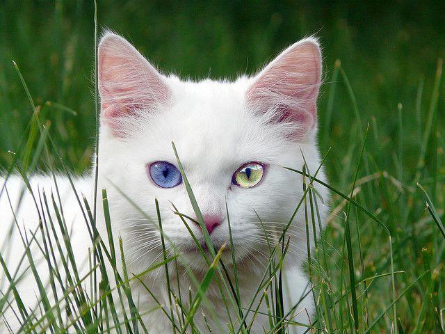Image result for sectoral heterochromia cat jpg