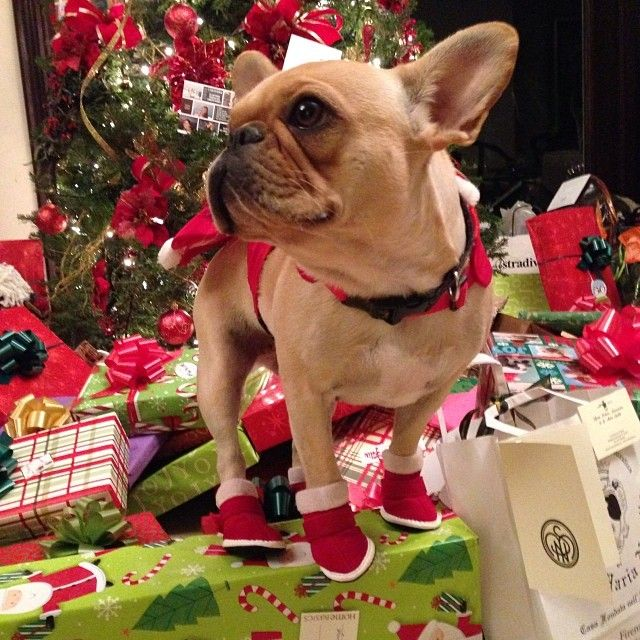 9 Sings Your French Bulldog Thinks He\'s Boss - SonderLives