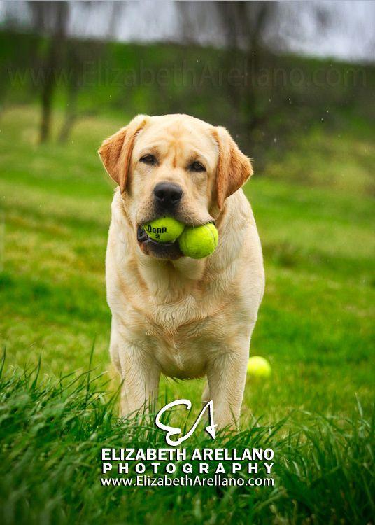 Summer Fun Labradors with Elizabeth Arellano | It's a Lab Thing