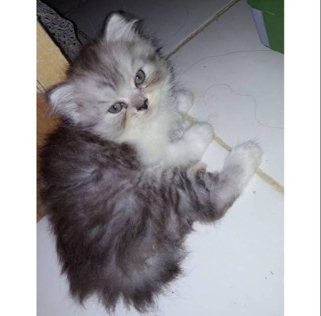 Gambar Kucing Persia Himalaya Kucing Persia Menggambar Kucing Kucing
