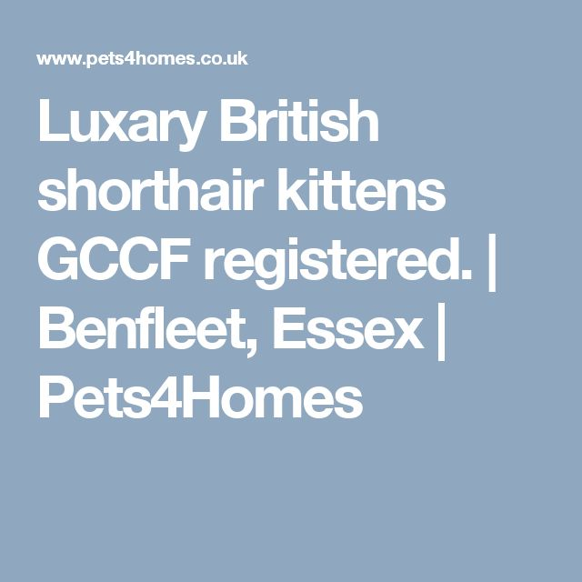 Luxary British shorthair kittens GCCF registered. | Benfleet, Essex | Pets4Homes