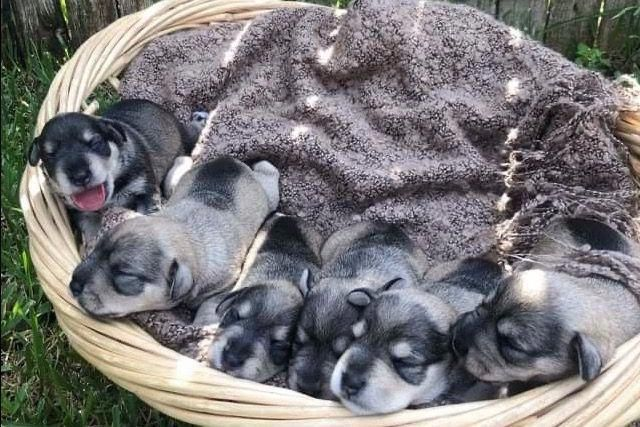 Outstanding Schnauzer Puppy Information Is Offered On Our Website Have A Look And You Will N In 2020 Schnauzer Puppy Miniature Schnauzer Puppies Miniature Schnauzer