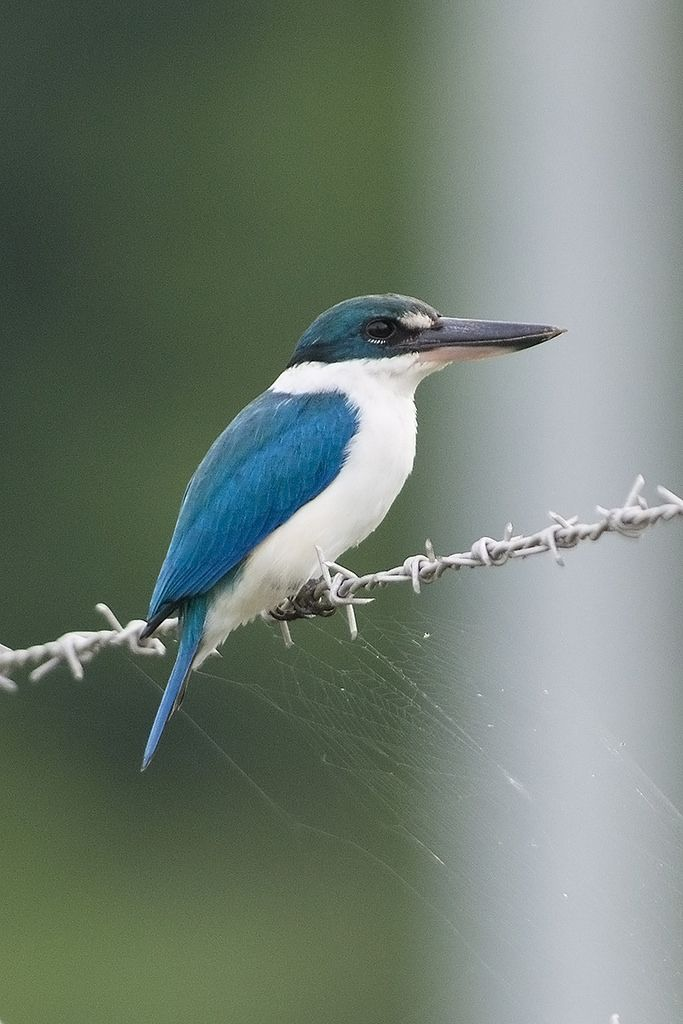 Collared Kingfisher (Todiramphus chloris) Some races have a white spot between…