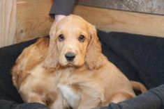 A Definitive Ranking Of The Cutest Puppies – 49. #CockerSpaniel: Because: DROOPY PUPPY DOG ...