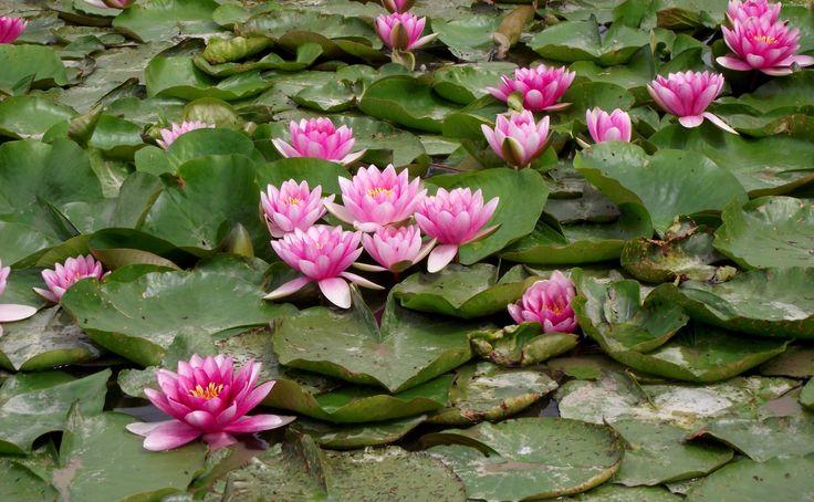 Kwiaty, Lilie wodne