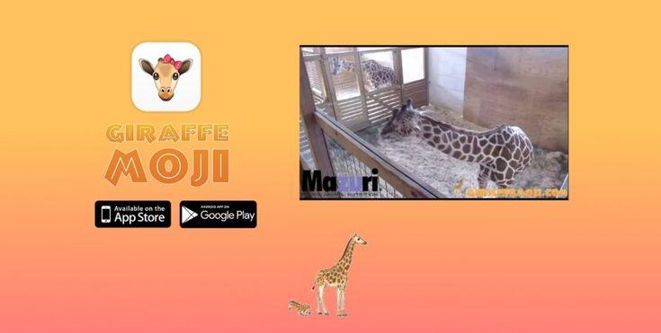 April i Oliver oczekują potomka. Nowojorskie zoo pozwala nam obserwować narodziny młodej żyrafy na żywo.