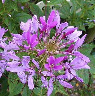 Purple Cleome Spider Flower Soo Easy To Grow