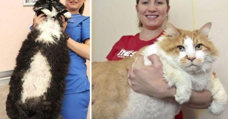 Los gatos Savannah, o Gatos de la sabana, son actualmente los gatos más grandes del mundo, podría decisrse que llegan a ser casi del tamaño de un perro mediano, y definitivamnte comen más que un gato normal.