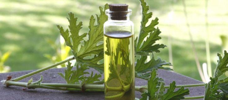 Anginka, szczyrbok, szorstka pelargonia czyli geranium - przydaje się gdy boli ucho. Poznaj i wykorzystaj wszystkie właściwości tej rośliny!