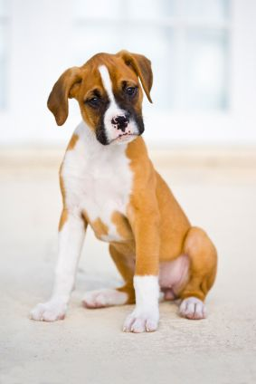 Boxers - A Playful, Curious Breed That Lives Up to Its Name