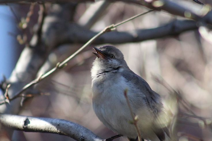 "61 Likes, 5 Comments - Fyn (@fillsyourniche) on Instagram: ""Northern Mockingbirds (Mimus polyglottos) add new sounds to their songs throughout their lives.…"""