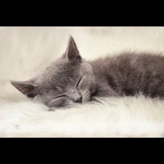 #cat #animal #studio #studioshooting #nikon #nikonphotography #d7000 #pet #petphotography #catphotography #catportrait #animalportrait #animal #sleeping #sleep #cute #fur #studio #studioshooting