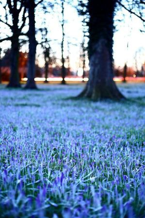 Bluebells behind the University of Cambridge