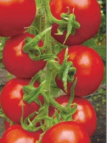 Red-Tomato-Seeds-Caruso-F1-Ukrainian-Hybrid-Variety-NON-GMO