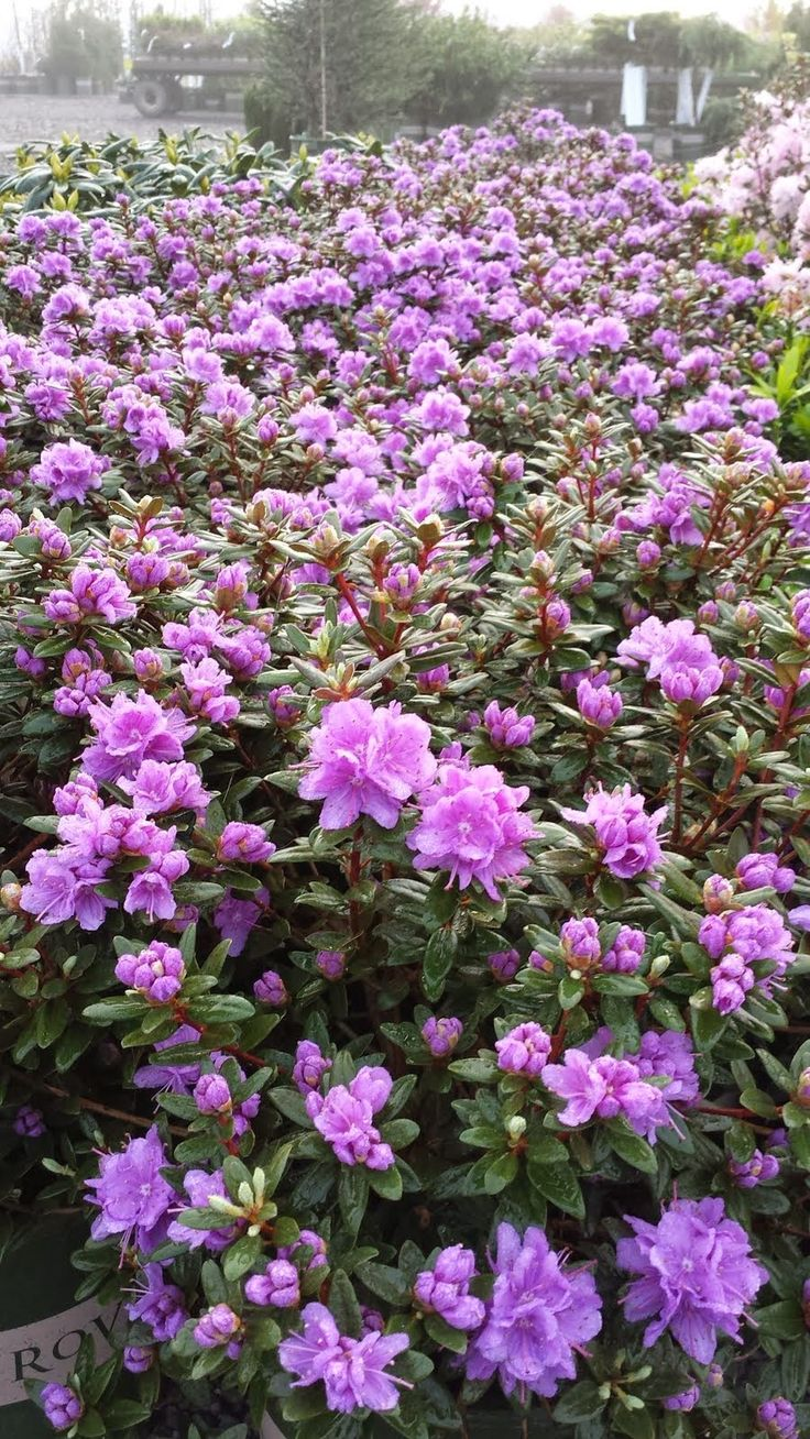 1000 Ideas About Rododendron On Pinterest Maya And Image