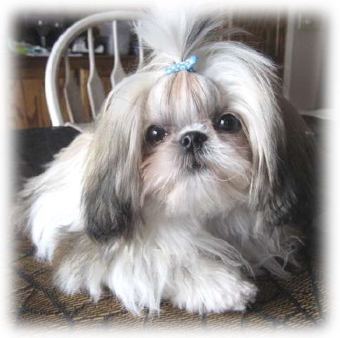 Shih Tzu puppy wearing a baby blue bow...awww ...