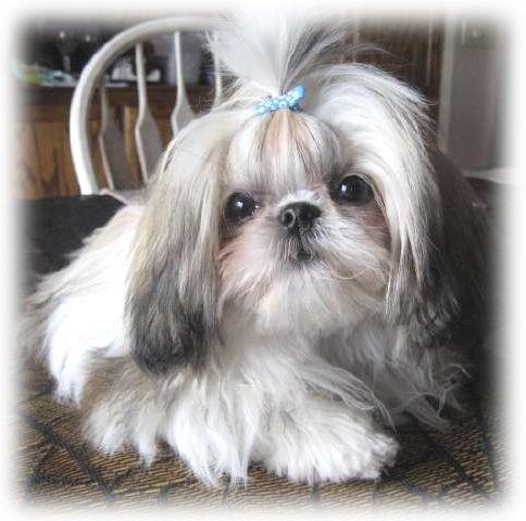 Shih Tzu puppy wearing a baby blue bow...awww ...