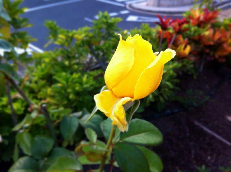 Rosas en verano - Islas Canarias - Tenerife 2014