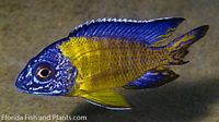 MALE Neon Blue Dorsal Peacock African Cichlid Live fish 1.5 inch GUARANTEED