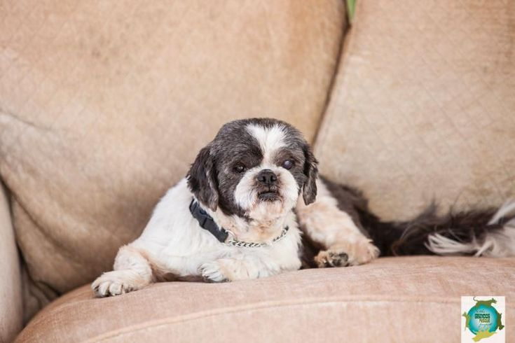 Meet Freeway, a Petfinder adoptable Lhasa Apso Dog   Windsor, CA   Freeway - a special dog indeed.  Freeway was loved very much but over time, his medical care was...