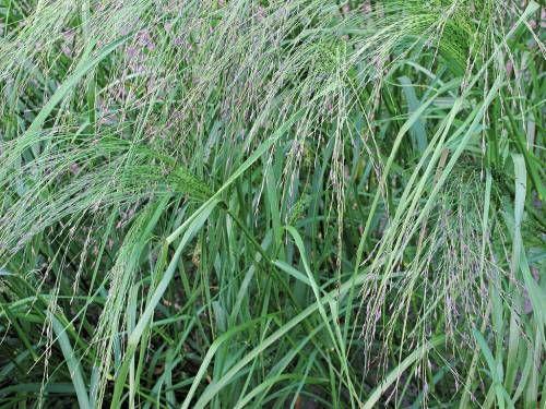 Teff, il cereale più piccolo del mondo: proprietà, usi e dove trovarlo