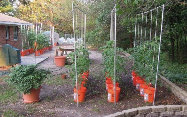 How To Grow Tomato Plants In Buckets Gardening