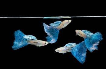 Info Ikan: 5 Besar Ikan Hias paling ngetop di Indonesia