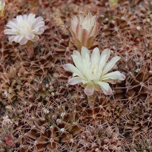 Gymnocalycium friedrichii albiflorum