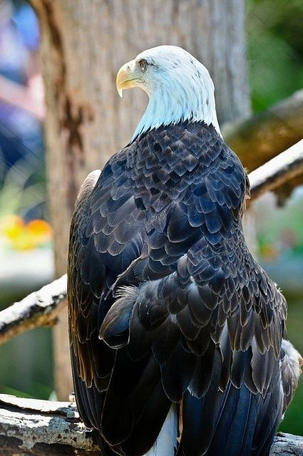 North American Bald Eagle...makes me proud to be an American!! <><> More info:  http://www.trichozed.com/?id=8a4647