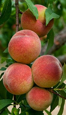 Home-Grown Delicious Peaches  -  The Red Haven Peach is consistently the best tasting peach in any supermarket.  Now, instead of making a trip to the grocery store, you can just walk to your backyard for delicious peaches!  Red Haven Peach Trees grow very rapidly, and give you an abundance of fruit quickly....