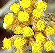 ∆ Helichrysum...Helichrysum, also known as Everlasting Essential Oil or Immortelle, has been studied in Europe for regeneration of nerves, improving skin conditions, reducing inflammation, relieving pain, and speeding healing.