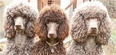 The poodle. In silver beige, chocolate (brown), and cafe-au-lait.