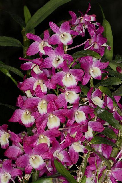 Dendrobium Hamana Lake 'Dream'