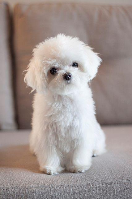 Der Malteser ist im Allgemeinen ein robuster und gesunder Hund, jedoch gibt es wie bei anderen kleinen Hunden ein Problem mit den Kniescheiben.