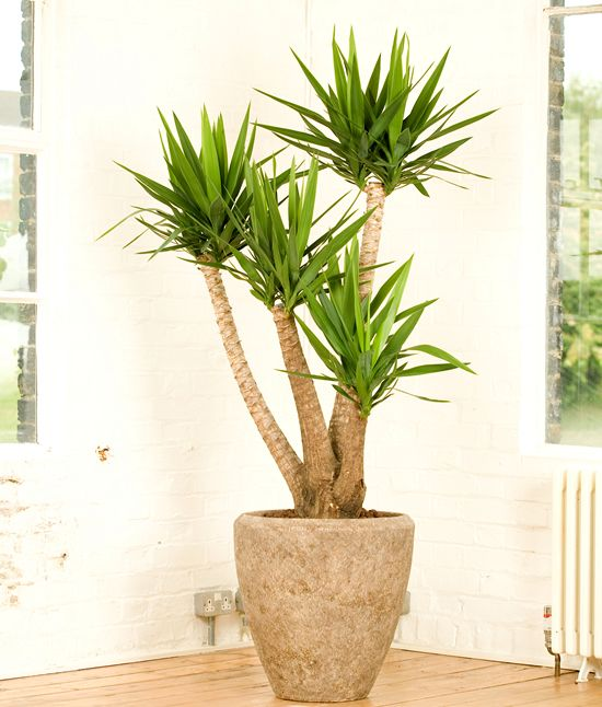 Potted Yucca plants instead of palms! Looks more like a Joshua  Tree!