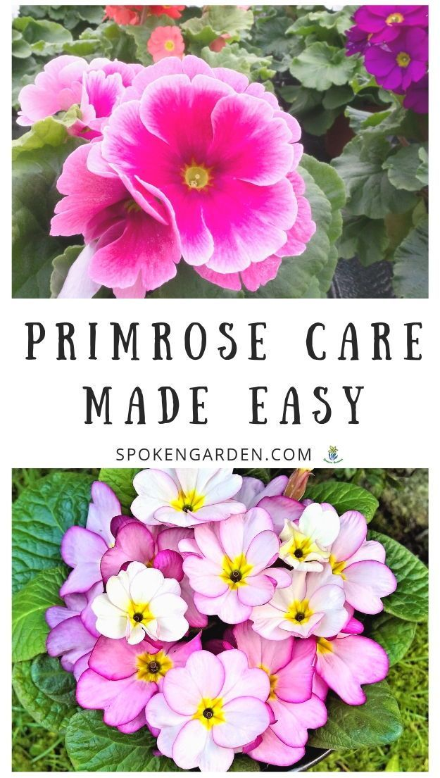 Primrose Care Made Easy Diy Garden Minute Ep 60 With Images