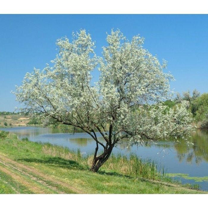 Petit arbre indigène rare d'environ 3 m. par 3 m.. De la même famille que l'olivier, ses petites fleurs odorantes jaunes donnent une drupe ovale grisâtre et comestible. Son feuillage argenté en fait un arbre d'ornement. Ses racines contiennent des nodules qui fixent l'azote de l'air dans le sol. Il peut s'accommoder d'un sol pauvre et sec. Plein soleil. Zone 2.