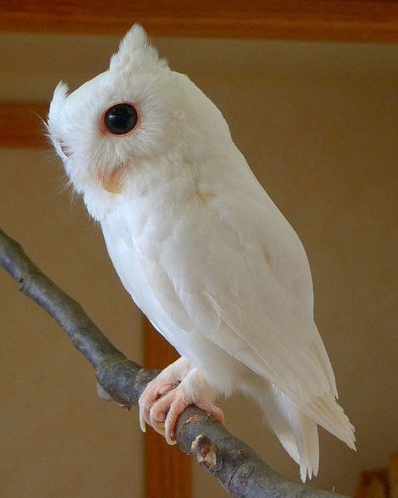 Albino Owl -Eastern Screech Owls normally range in color from gray to rusty brown. When albino, however, they have pink skin around their eyes and/or toes.