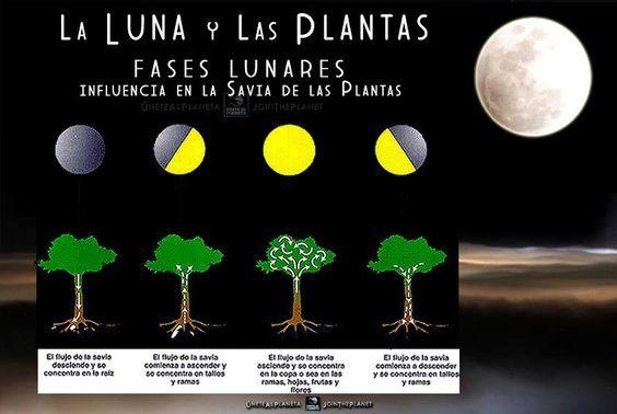 LA LUNA Y LAS PLANTAS... FASES LUNARES Y SU INFLUENCIA EN LA SAVIA DE LAS PLANTAS...  ¿Qué es lo que se dice con respecto a la luna y la agricultura? 1. Los tubérculos (en hortalizas) desarrollan más la raíz si se siembra en Cuarto Menguante. 2. Podar árboles enfermos en Cuarto Creciente. 3. Fertilizar en Cuarto Menguante. 4. Sembrar en Cuarto Creciente garantiza plantas jugosas y frondosas.