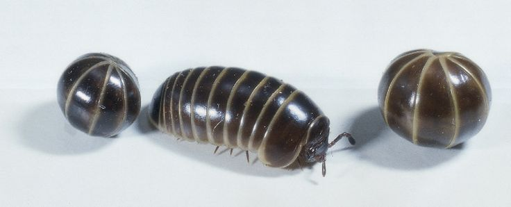 Can you say Armadillidiidae?  We always called them roly-poly bugs, but they are also known as pill bugs or potato bugs.