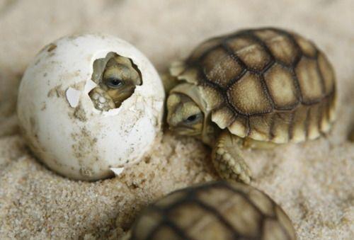 Baby sea turtles hatching